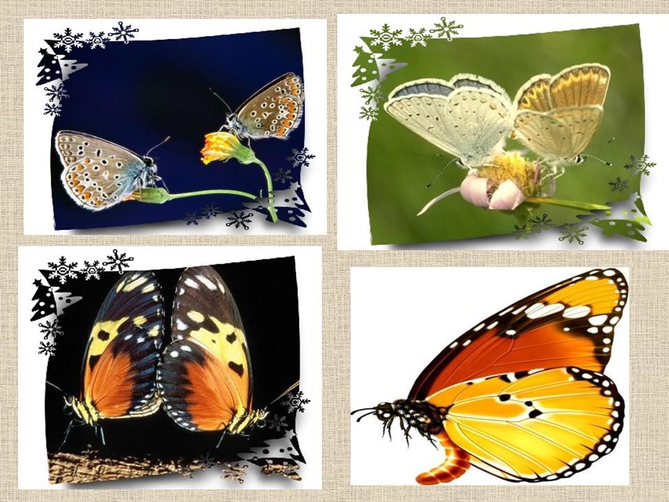 《枯叶蝴蝶》PPT课件2下载