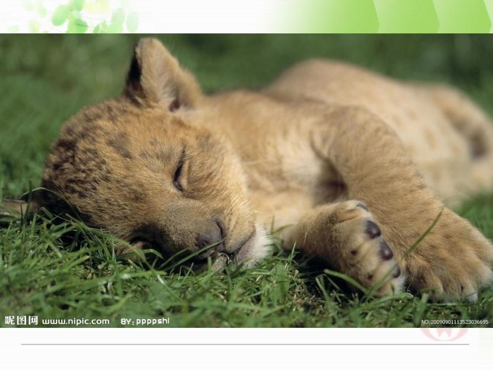《小狮子》PPT课件下载