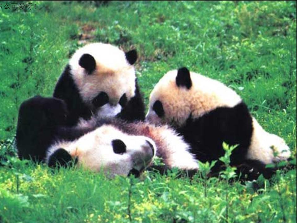 《大熊猫》PPT课件4下载