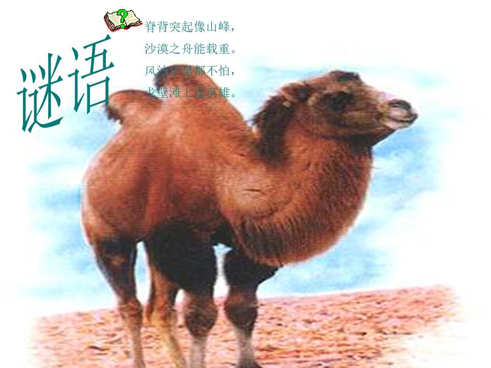 《找骆驼》PPT教学课件下载4下载
